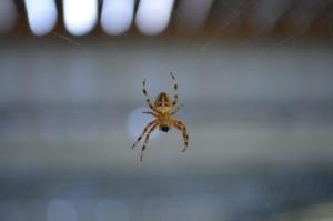 4m Zellweger Spinne