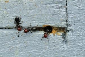 4M Zellweger Ameisen