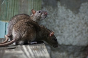 4M Zellweger Ratten